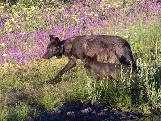 Wolf lupines
