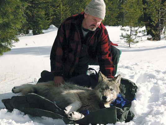 radio-collaring a wolf