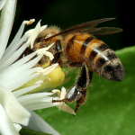 Close-Up of Bee Pollinating White Flower With Green Bokeh Background