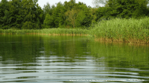 Green Lake With Ripples with Green Reeds and Conifer Trees on Bank