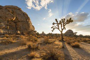 Desert landscape of Joshua Tree National Park with sun shining behind a Joshua tree