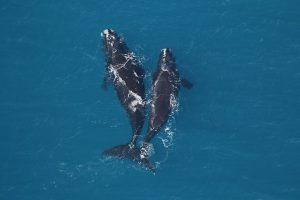 North Atlantic right whales | Georgia Wildlife Resource Division