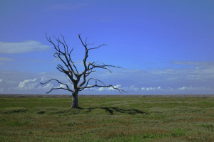 barren tree representing drought and desertification as a result of climate change