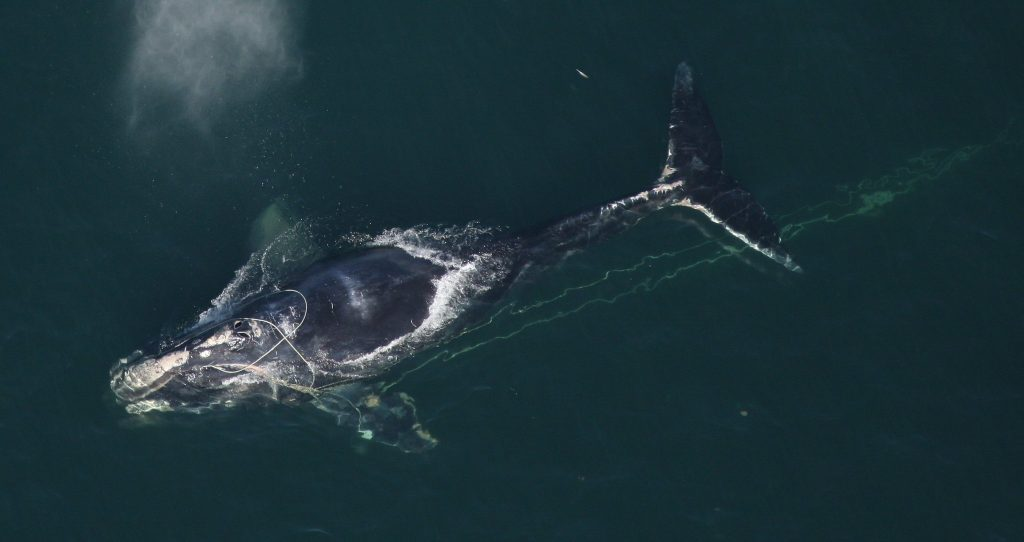 Northern Right Whale | Photo: NOAA