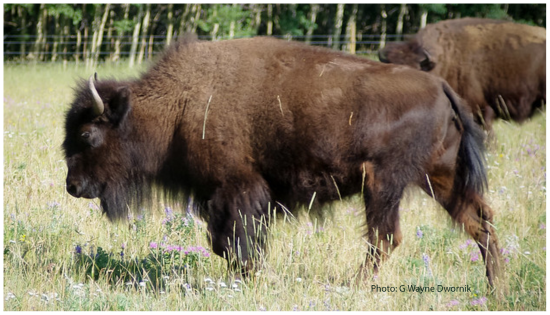 Beefalo hybrid of cattle and bison